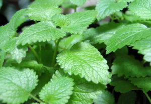 Растение мелисса лекарственная