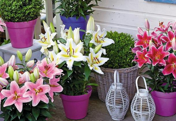 Домашние лилии: правильный уход и выгонка