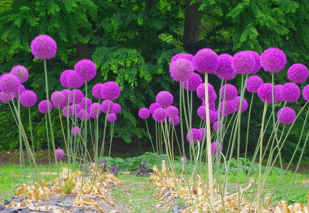 Декоративный лук: особенности ухода и размножения