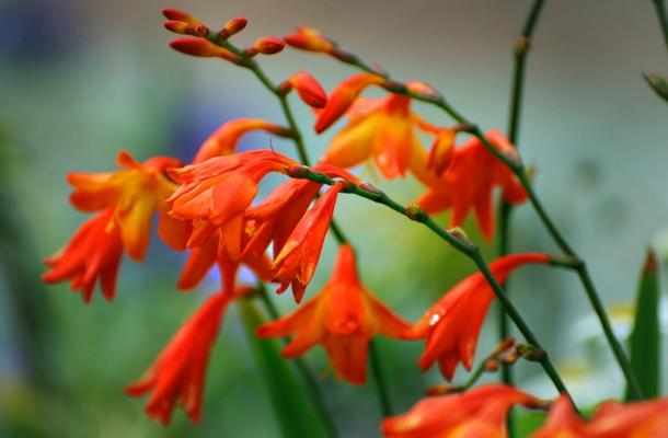 Монтбреция: описание и выращивание