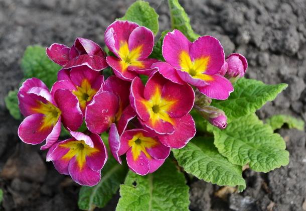 Многолетний цветок примула – великолепие окрасок