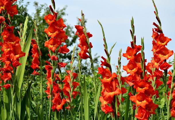 Многолетние луковичные цветы гладиолусы – длительное цветение