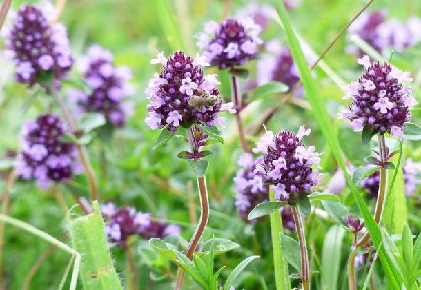 Трава тимьян ползучий – полезный сорняк