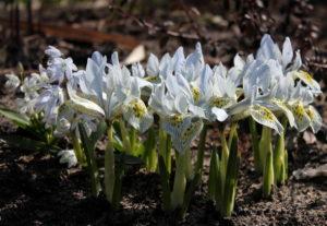 Луковичные ирисы – яркие цветы
