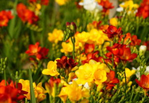 Многолетние луковичные цветы фрезии – продолжительное цветение