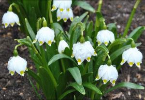 Первоцвет белоцветник весенний и летний