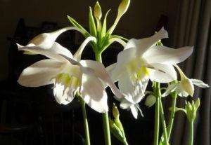 Красивоцветущий домашний цветок эухарис
