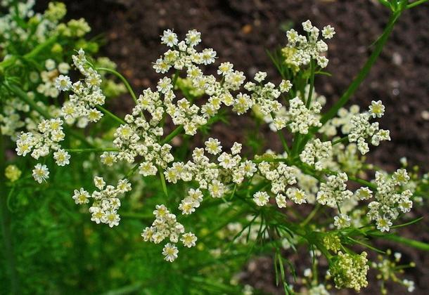 Растение тмин овощной – пряная культура
