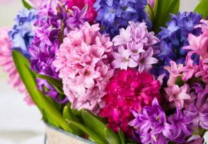 Многолетние садовые цветы гиацинты – богатство оттенков
