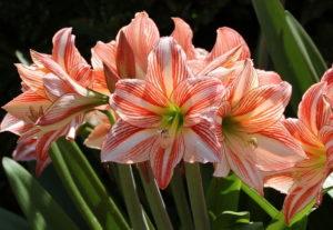 Луковичный цветок гиппеаструм – неприхотливая культура