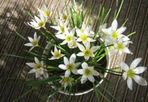 Цветок зефирантес – горшечная выскочка