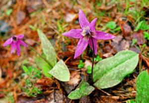 Цветы кандык сибирский семейства лилейные