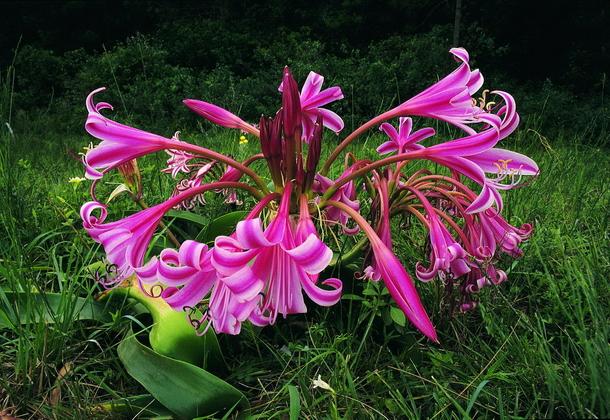 Цветок кринум садовый – великолепное растение