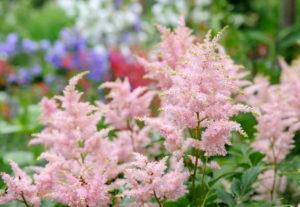 Блестящая астильба: выращивание и уход
