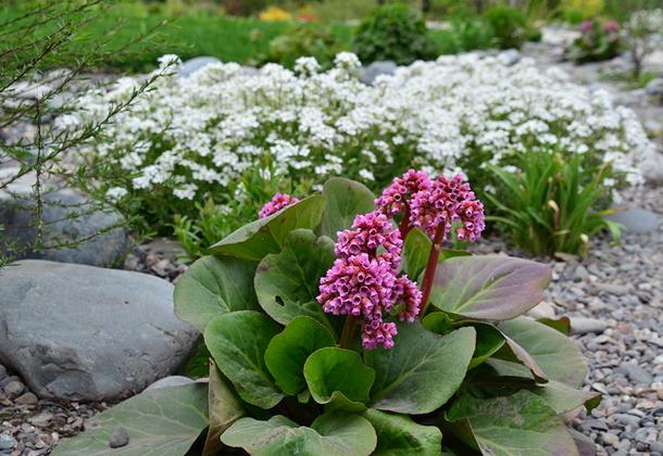 Бадан в саду: правила ухода и выращивания