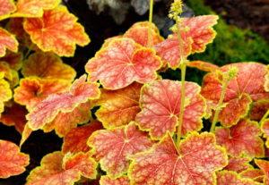 Как посадить и вырастить гейхеру в саду