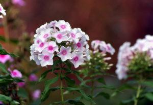 Советы и рекомендации по уходу за флоксами в саду