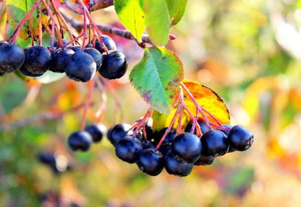 Черноплодная рябина (арония) в саду