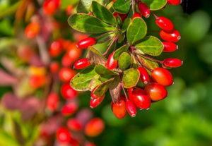 Выращивание барбариса: правила и рекомендации