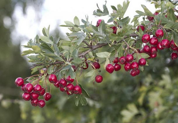 Выращивание боярышника: правила агротехники