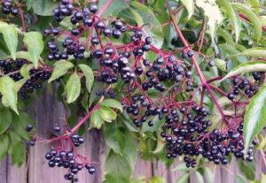 Выращивание бузины: правила и рекомендации