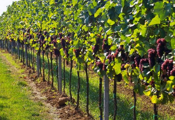 Как вырастить виноград: инструкция для начинающих