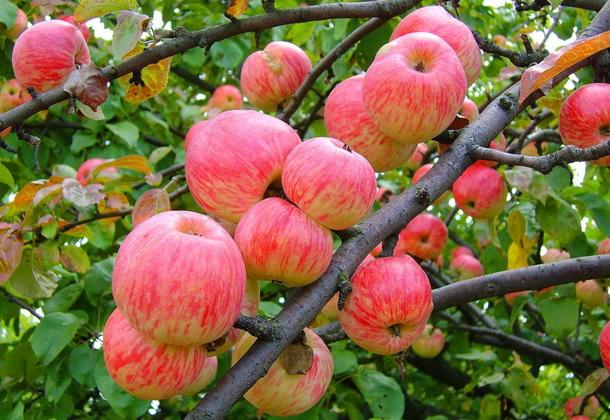 Яблоня: самые лучшие сорта для средней полосы
