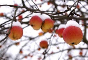 Как подготовить яблони к зиме: действенные способы