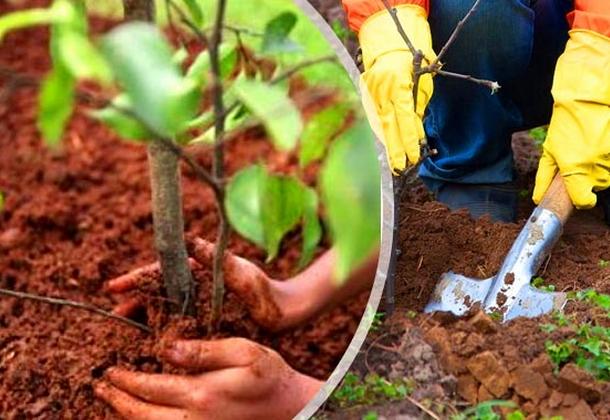 Как посадить яблоню: пошаговое руководство для начинающих