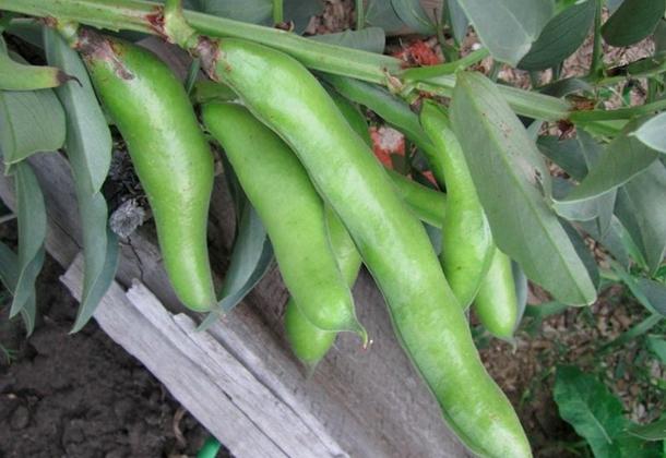 Бобы: выращивание в огороде