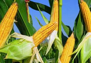 Как вырастить кукурузу на даче: советы и рекомендации