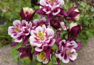 Прекрасная аквилегия: выращивание из семян