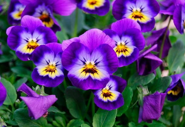 Цветущая виола: выращивание из семян
